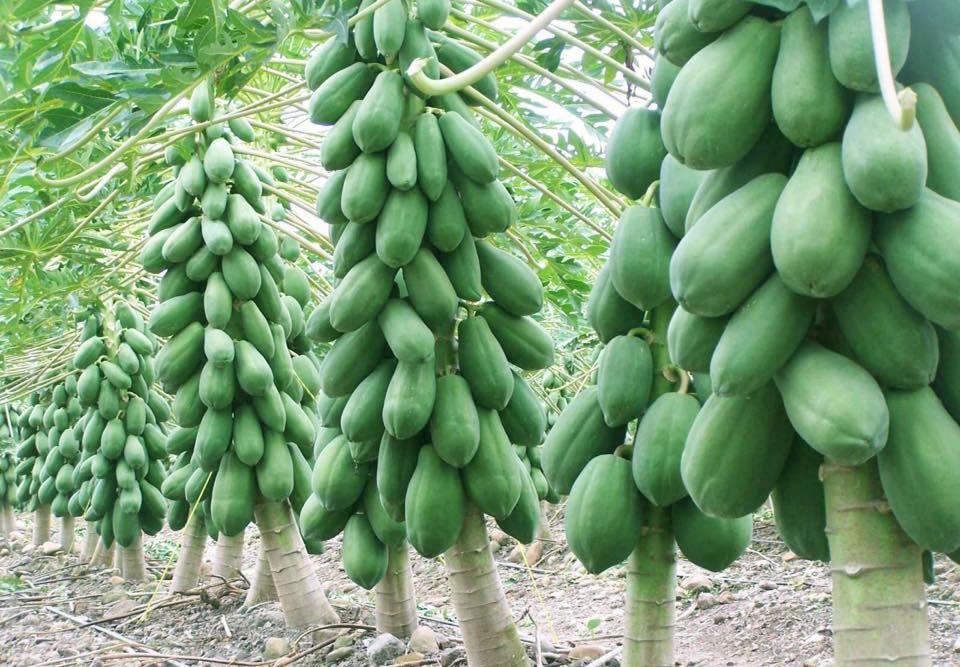 Papaya (3)