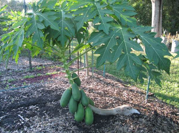 Papaya (7)