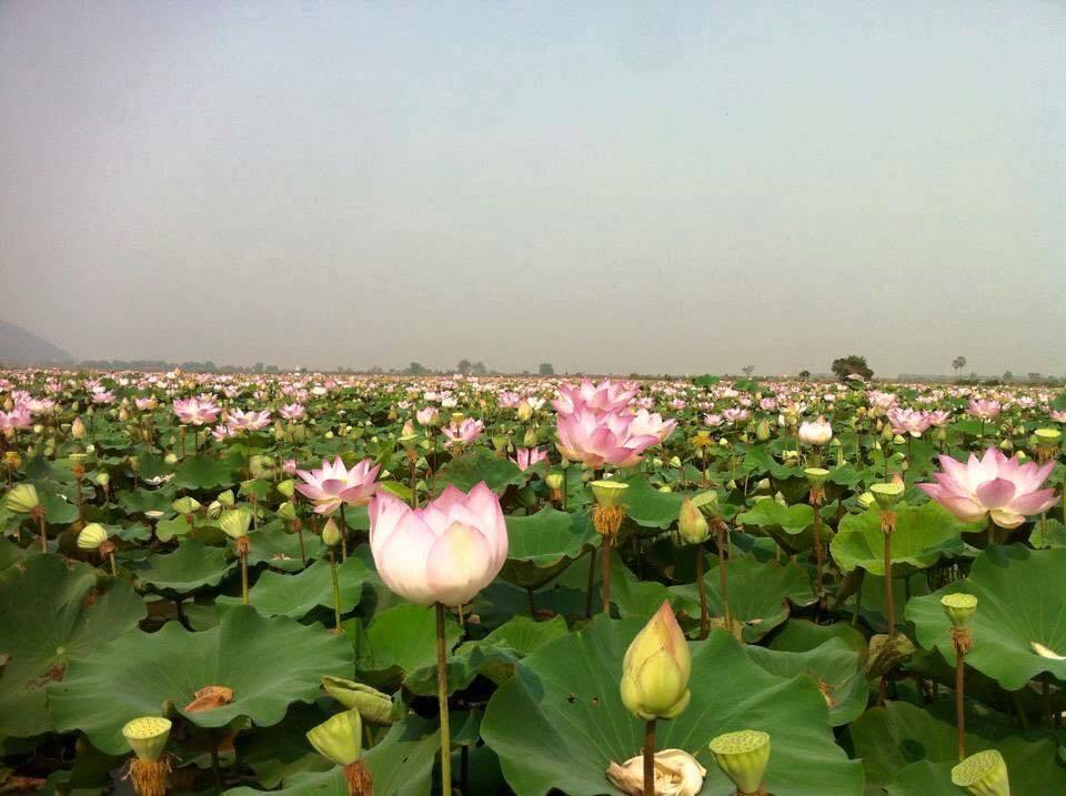 Lotus (10)