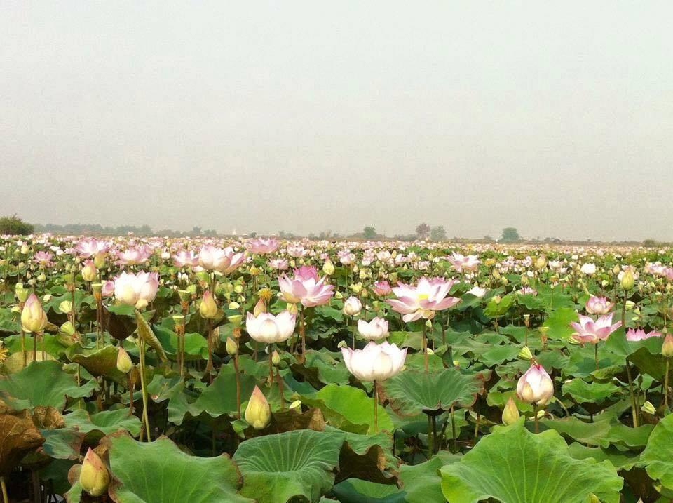 Lotus (12)