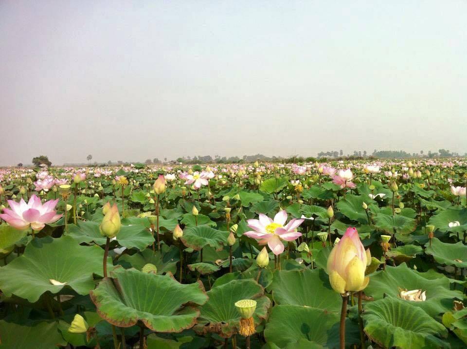 Lotus (2)