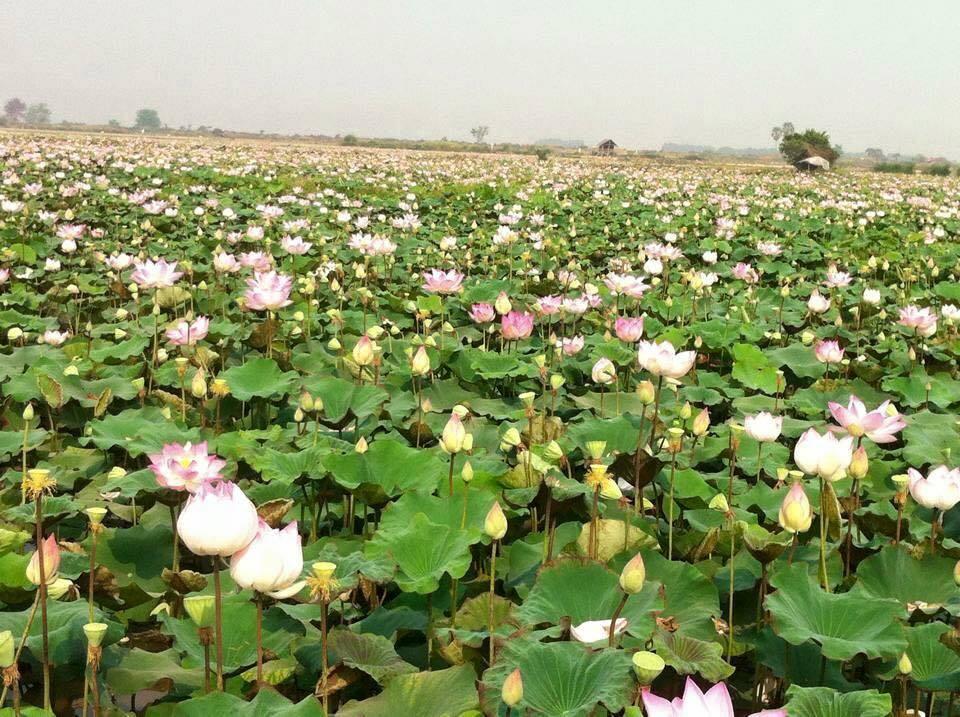 Lotus (3)