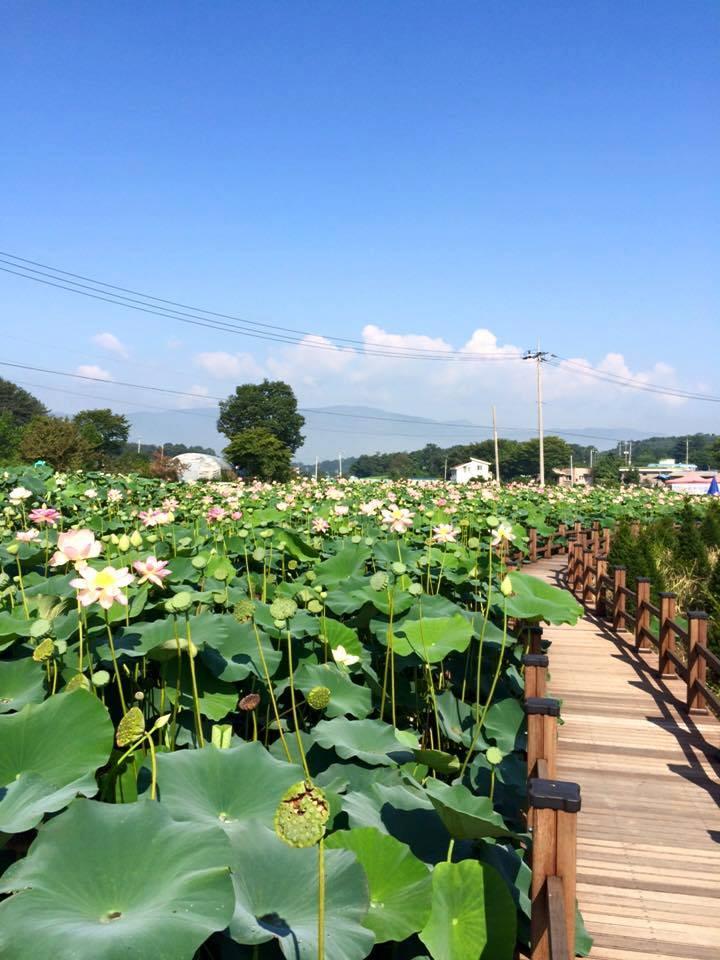 Lotus (4)