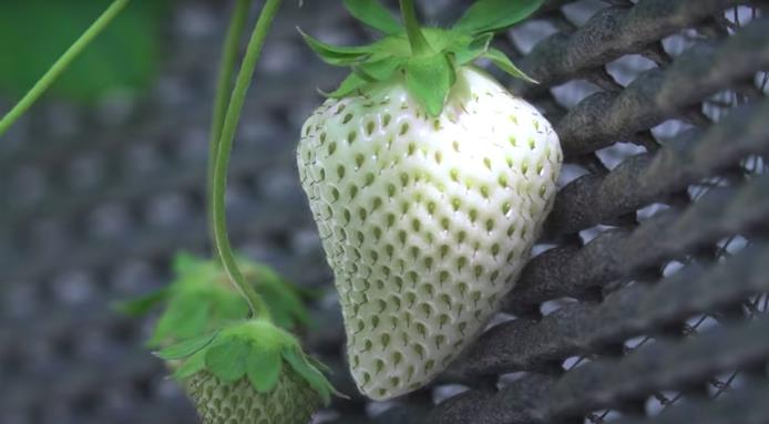l_15328_white-strawberry