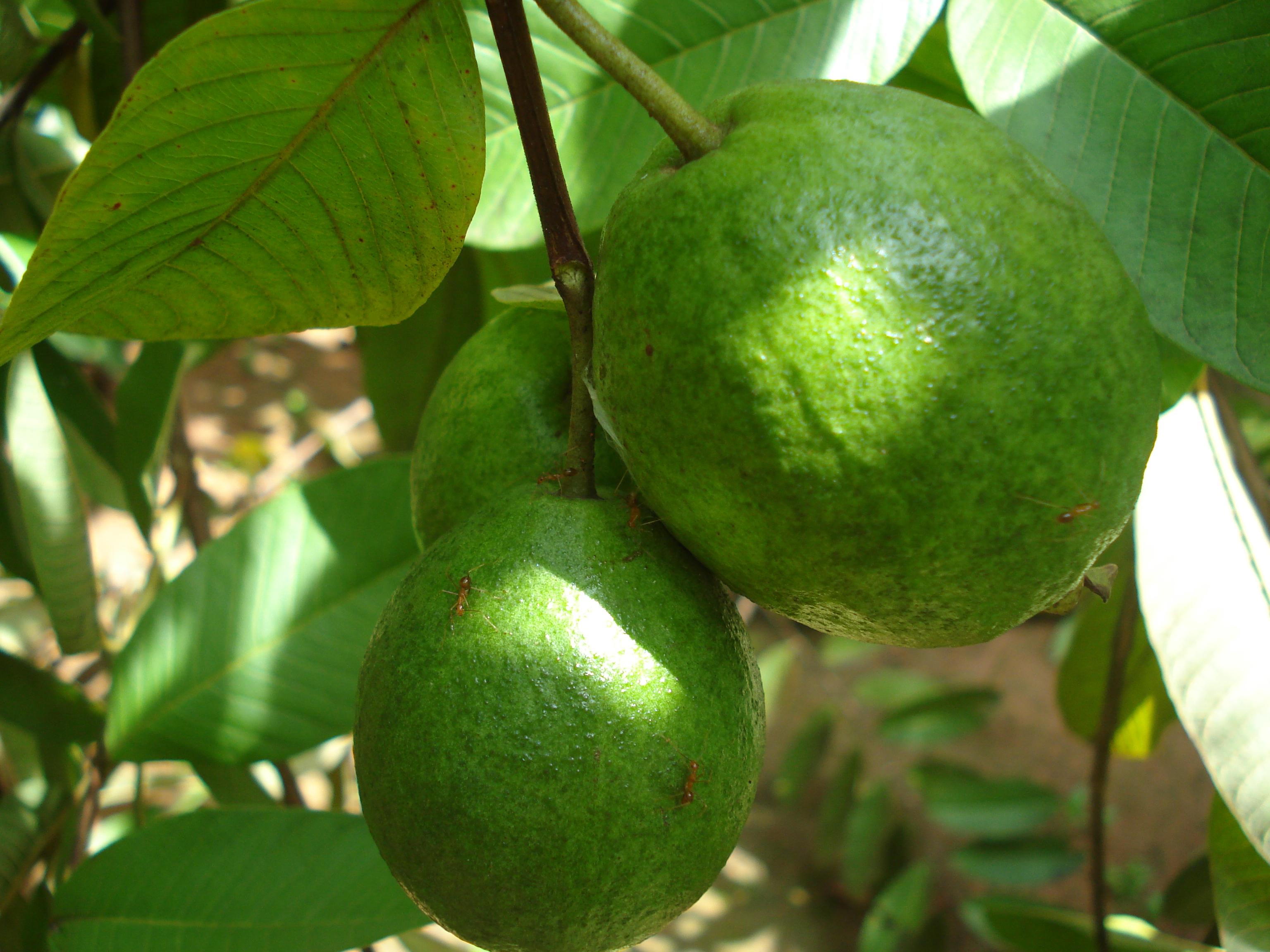 Guava_(1)