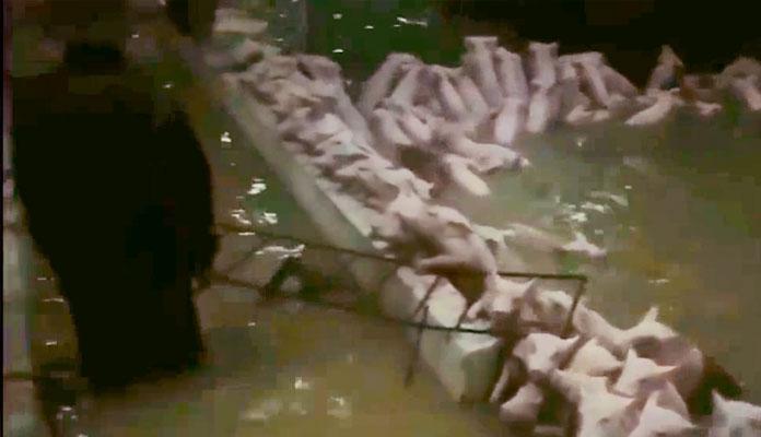 Pig Dies (2)