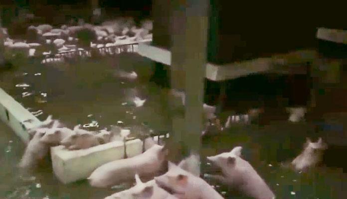 Pig Dies (3)
