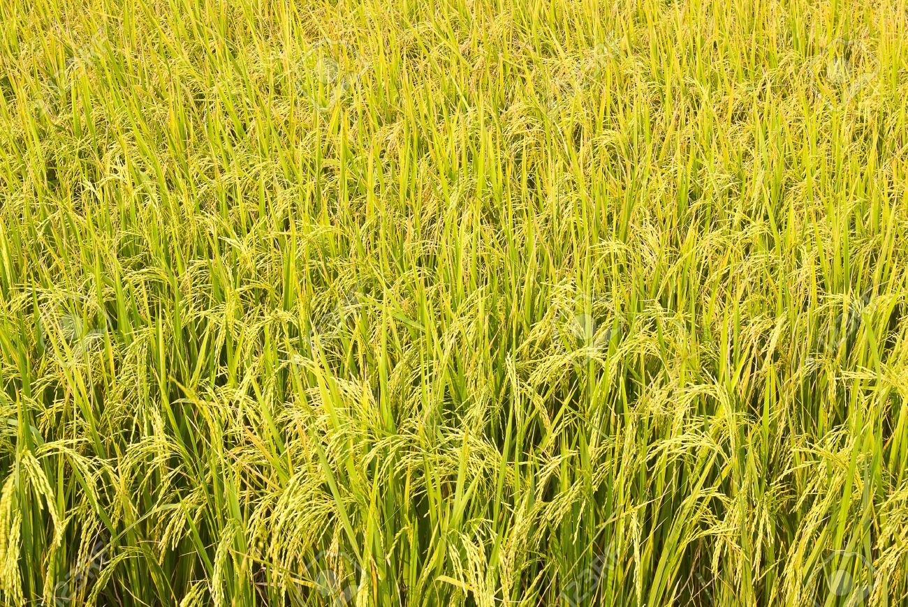 12684502-rice-plant-in-rice-field-Stock-Photo