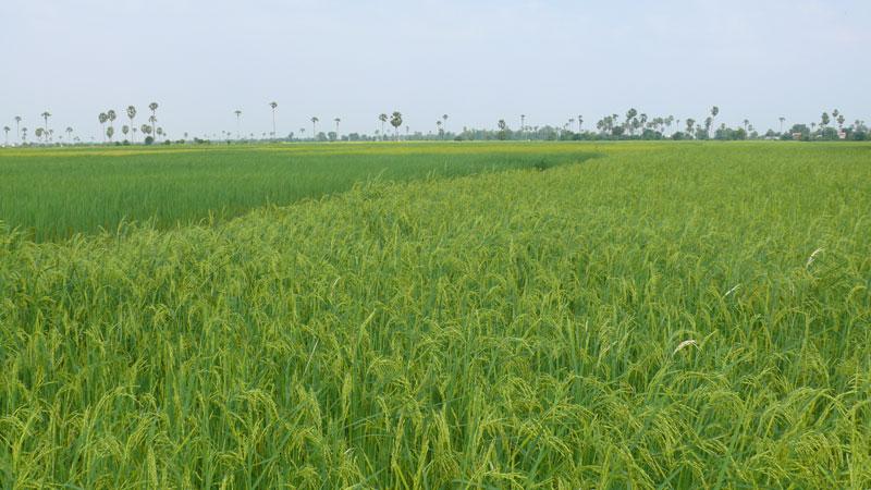 cambodia-rice-paddy