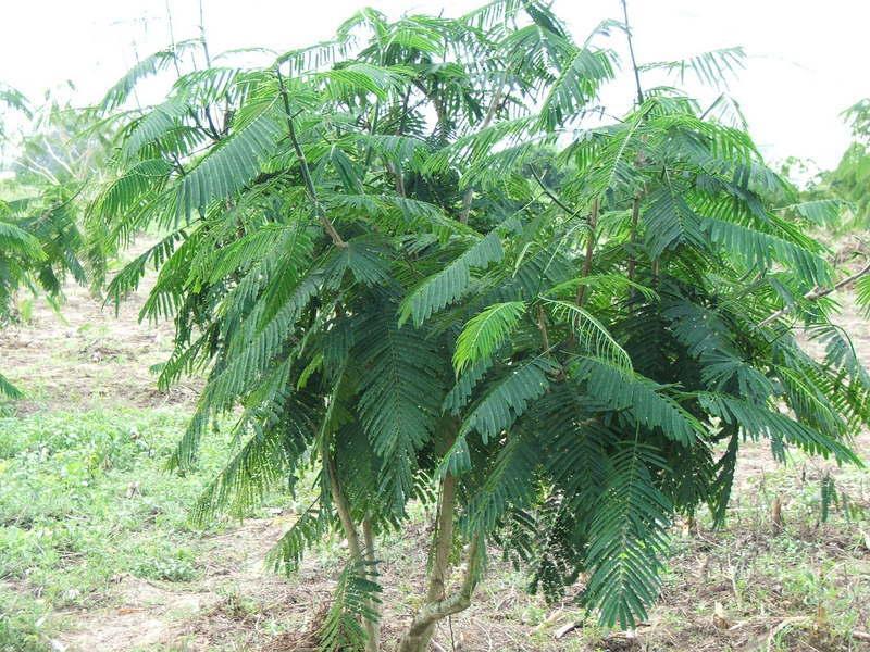 acacia-pennata3_orig